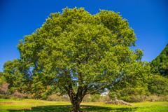 草原に佇む大木