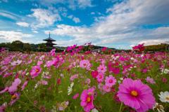 秋桜と三重塔~法起寺~