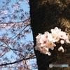 いつかの幹桜