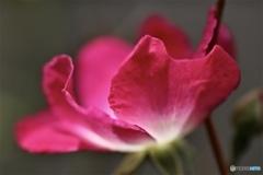 冬の小薔薇
