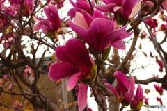 紫木蓮も満開です(^-^)