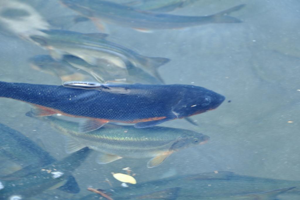 Fish from Tazawako