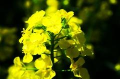 こんな菜の花は。