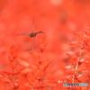 花とトンボ 7432 サルビア畑の上をアキアカネが!