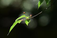 サクラ 3970 ソメイヨシノの葉とサクランボ