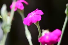 庭の花 4352 スイセンノウまたはフランネルソウ(TNX sam777さん)