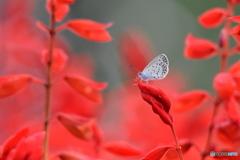 花と蝶 9431 サルビアにヤマトシジミが!