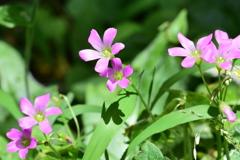 庭の花 4355 ムラサキカタバミ