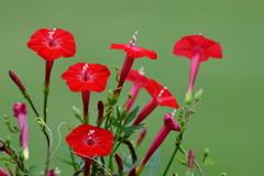 赤い花 6466 ルコウソウ!