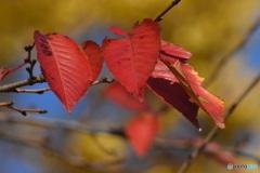 紅葉 9840 黄色いイチョウの手前に真っ赤なサクラの葉!
