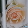 バラ 2124 フェンス越しの白バラ