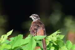 ホオジロ 5459 幼鳥です!
