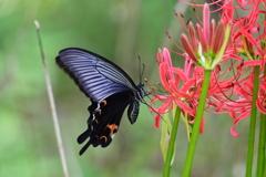 花と蝶 6304 ヒガンバナにクロアゲハ