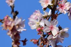 サクラ 9351 十月桜??