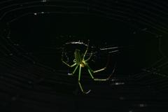 アシナガクモ 5598 チュウガタシロカネグモ