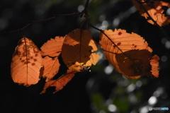 紅葉 9843 サクラの葉っぱに光が当たっていました!!