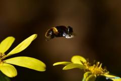 ツワブキの花とオオハナアブ 4352