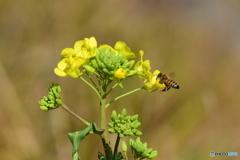 ナノハナとミツバチ 7728
