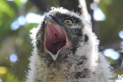 猛禽 1638 トラフズクの幼鳥!