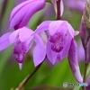 シラン 1260 紫蘭とクモ