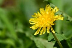 庭の花 4359 タンポポ