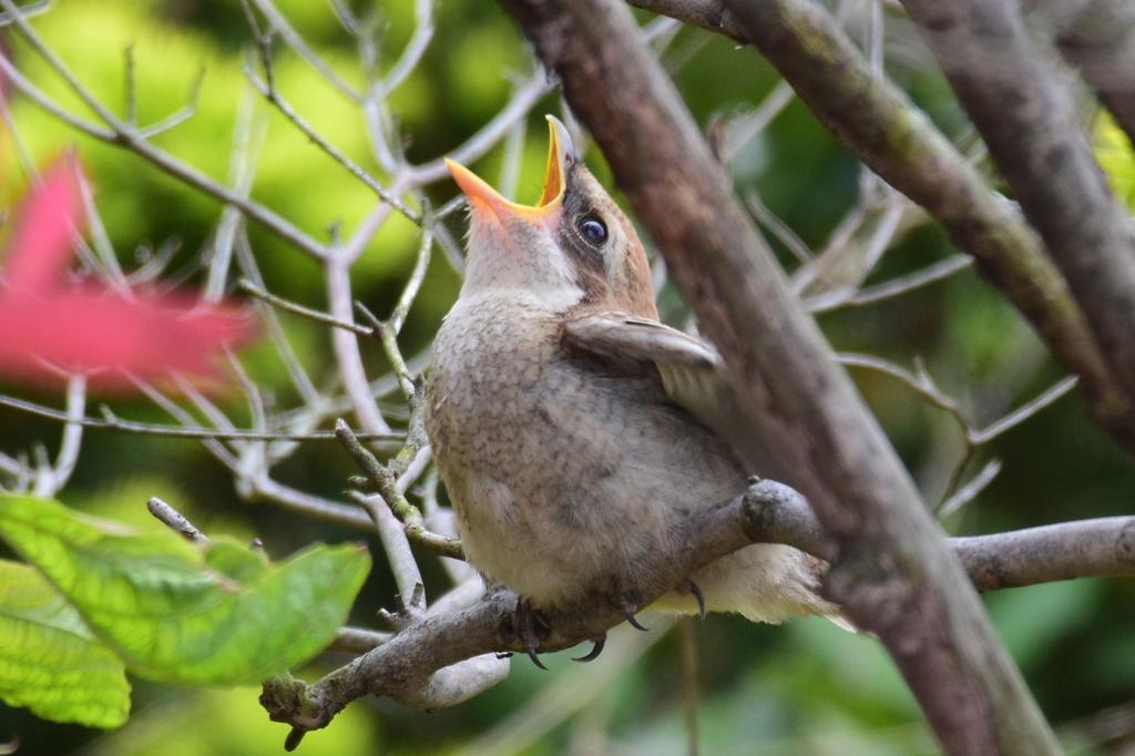 モズ 2773 幼鳥 お腹がすいてるの・