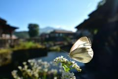 綺麗な水で暮らす蝶