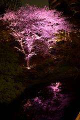 ライトアップで浮かぶ夜の染井吉野