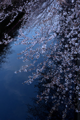 川面にかかる桜