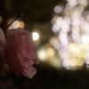 桃色の薔薇と