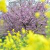 菜の花越しに咲く桜の木
