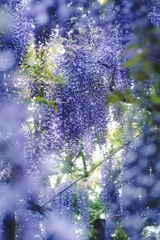 wisteria dreamy