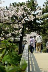 橋の桜とカメラマン