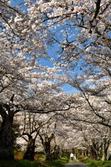 空に広がる桜の参道