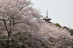 三渓園桜図