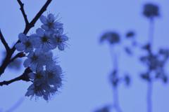 寒空に咲いたさくらんぼの花