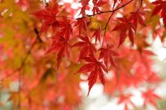 雨濡れの紅葉