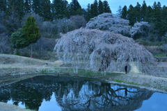 日暮れの桜の木の下で