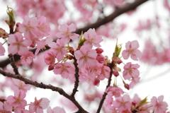 河津桜その2