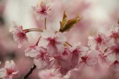 河津桜その4