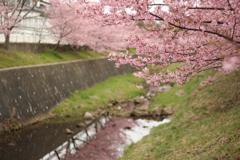 河津桜その3
