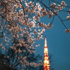 夜桜 III