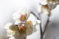 高露出透過的梅花