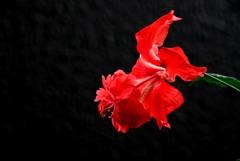 ハイビスカス レッドフラミンゴ