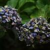紫陽花 その終焉