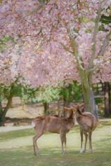 鹿さん達のお花見