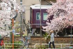 桜マルーン横構図
