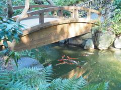 白金台の鯉