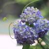 渓流紫陽花