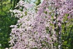 桜 散りゆく前に・・・